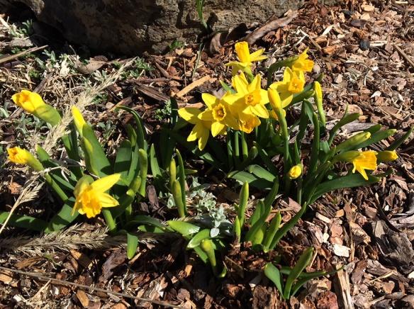 Daffodill_Hm_4.22.18_5x3_180fix.jpg