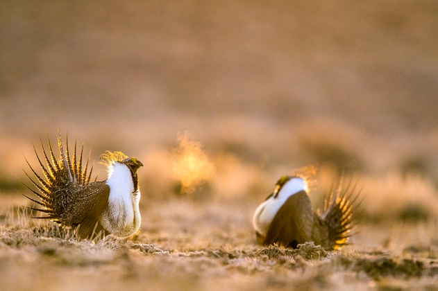 Sage-Grouse Silhouette